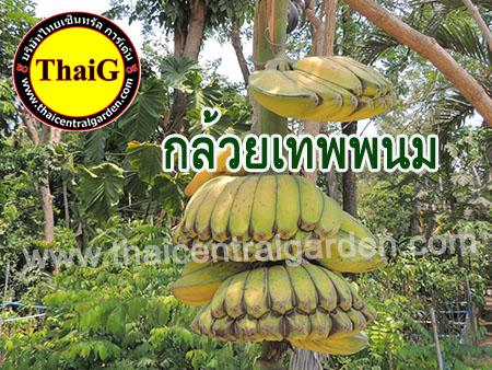 กล้วยเทพพนม