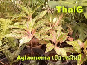 Aglaonema  แก้วกาญจนาหรือเขียวหมื่นปี