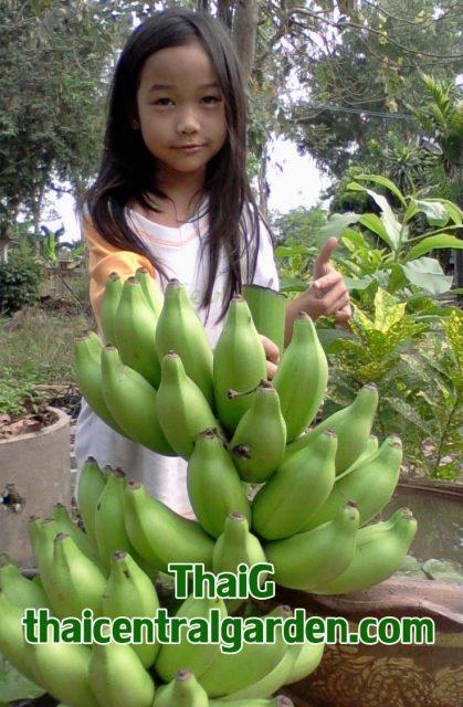 banana กล้วยนมสาว