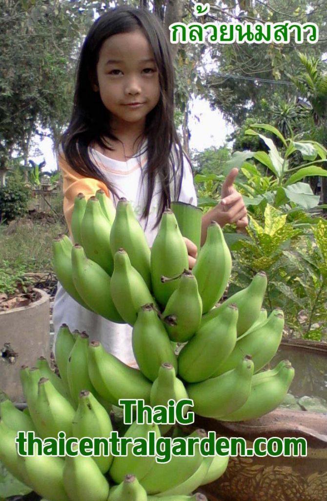 กล้วยนมสาว