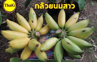 กล้วยพันธุ์ดี กล้วยนมสาว