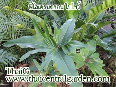 ฟิโลเดรอดรอน ใบไขว้(Philodendron)
