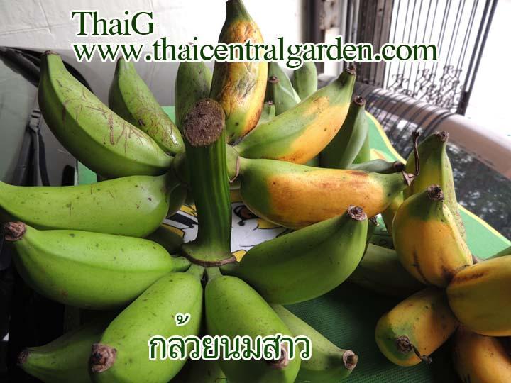ขาย หน่อกล้วยนมสาว พันธุ์กล้วยไทยโบราณ