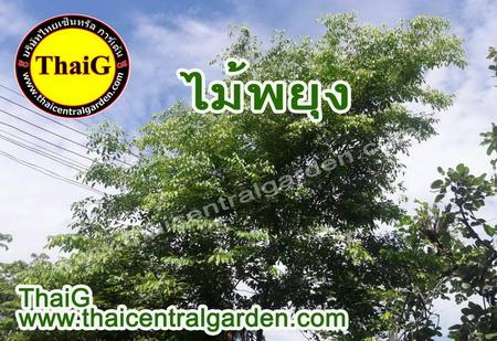 ไม้ป่าที่น่าปลูก ต้นพยุง สวนThaiG