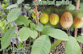 สมอไทย ลูกจัมโบ้เกือบเท่าไข่ไก่