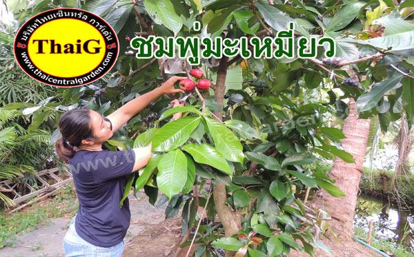 ต้นชมพู่มะเหมี่ยวแดง กำลังออกผลเนื้ออร่อยที่สวนThaiG