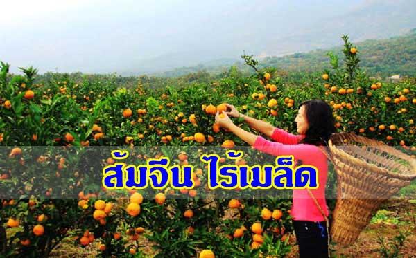 ส้มจีน ไร้เมล็ด รสชาติอร่อยเลิศ เมื่อได้กิน