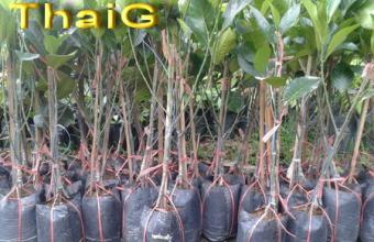 ต้นพันธุ์ ขนุน ทองประเสริฐ น้ำหนักดีผลใหญ่