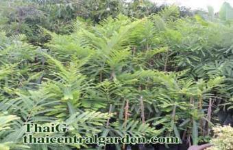 ต้นพันธุ์ มะขามป้อม ยักษ์อินเดีย