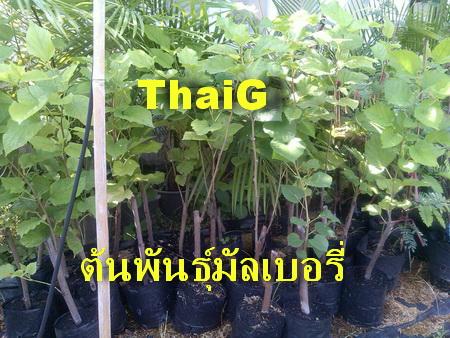 ต้น พันธุ์ หมอน มัลเบอรี่ สวนไทยเซ็นทรัลการ์เด้น