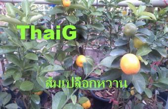 ส้มเปลือก หวาน ส้มศิริมงคล ส้ม คาราเมนติ