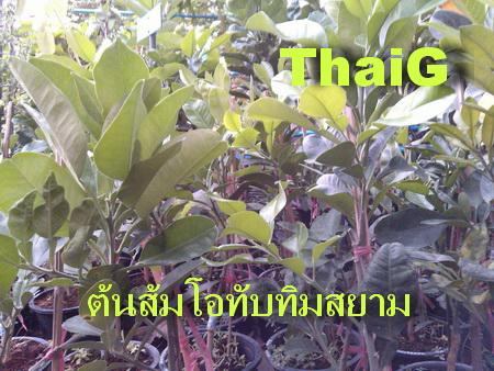 ต้นพันธุ์ ส้มโอ ทับทิมสยาม