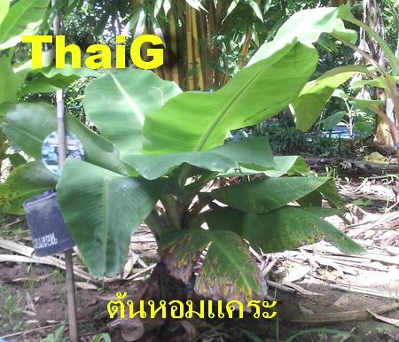 ต้นพันธุ์กล้วย หอมแคระ