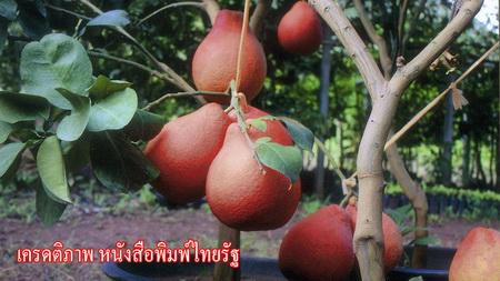 ส้มโอ แดงเวียดนาม เนื้อแดงเปลือกแดง