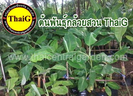 ต้นพันธุ์กล้วย หน่อกล้วย