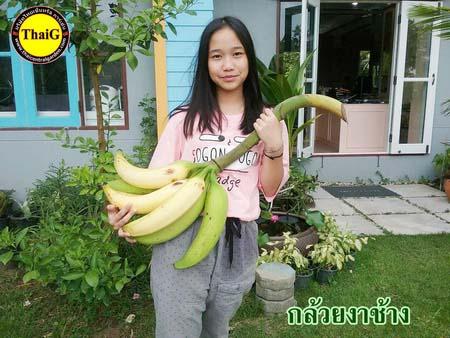 กล้วยงาช้าง