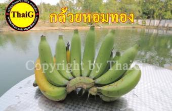 ขายหน่อกล้วย หอมทอง