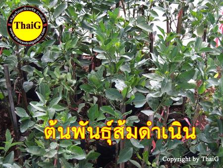 ต้นพันธุ์ส้มดำเนิน