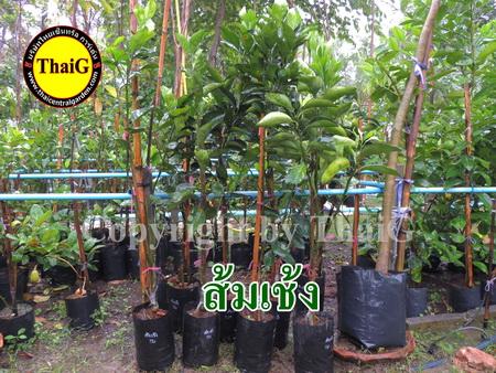 ต้นส้มเช้ง สวนไทยเซ็นทรัล