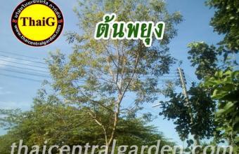 ต้นพยุง พยูง สวนThaiG