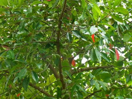 ต้นมะกอกน้ำ ต้นสารภีน้ำ