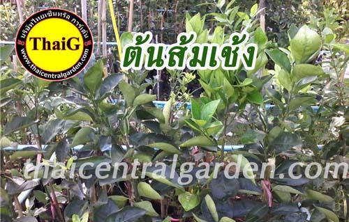 ต้นพันธุ์ ส้มเช้ง สวนไทยเซ็นทรัล