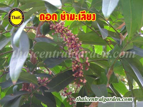 ต้นชำมะเลียงดอกแดง ดอกชำมะเรียงขาว