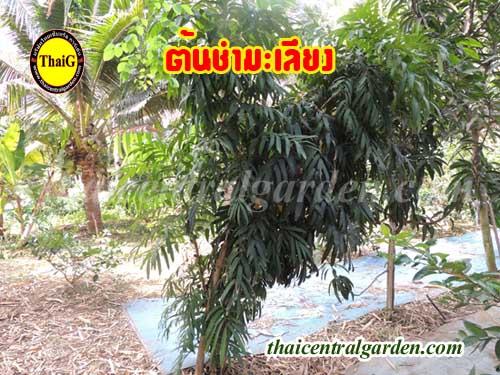 ไม้โบราณ สรรพคุณ ประโยชน์ ต้นชำมะเลียง ต้นชำมะเรียง