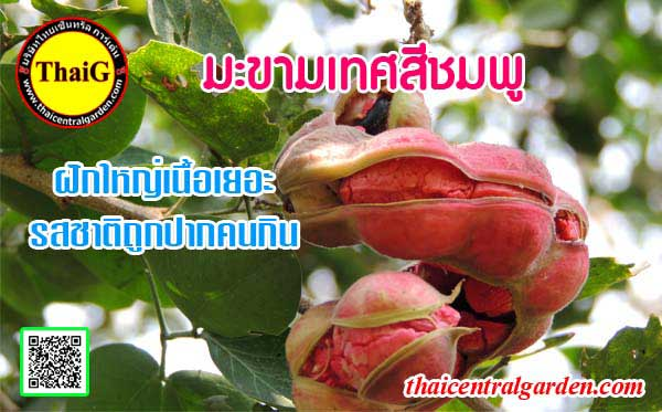 ผล มะขามเทศฝักสีชมพู พันธู์มะขามเทศรสชาติหวานมัน