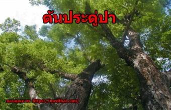 ต้นประดู่ป่า ไม้ป่าทนแล้ง