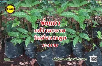 ต้นข่อยดำ สวนสมุนไพร ThaiG สามพราน