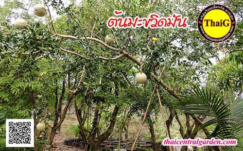 ต้นมะขวิด สวนผลไม้ThaiG